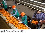 Купить «Young male and female workers sorting mandarins», фото № 32555306, снято 15 декабря 2018 г. (c) Яков Филимонов / Фотобанк Лори