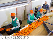 Купить «High angle view of group of people working on citrus sorting line at warehouse, checking quality of tangerines», фото № 32555310, снято 15 декабря 2018 г. (c) Яков Филимонов / Фотобанк Лори