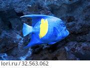 Купить «Рыба-ангел Аравийская (Pomacanthus maculosus)», фото № 32563062, снято 1 декабря 2019 г. (c) Татьяна Белова / Фотобанк Лори