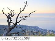 Купить «Высохшее дерево на восходе солнца. Крым. Ай-Петри», фото № 32563598, снято 9 августа 2019 г. (c) Владимир Кошарев / Фотобанк Лори
