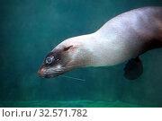 Северный морской котик или морской кот (Callorhinus ursinus) в воде. Стоковое фото, фотограф Татьяна Белова / Фотобанк Лори