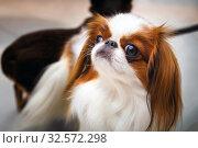 Купить «Portrait of a beautiful Pekingese dog breed.», фото № 32572298, снято 26 марта 2017 г. (c) Акиньшин Владимир / Фотобанк Лори