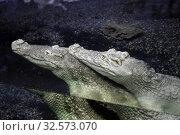 Купить «Крокодилы в воде в террариуме», фото № 32573070, снято 19 марта 2019 г. (c) Татьяна Белова / Фотобанк Лори