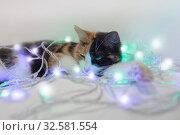 Трехцветная кошка спит в Новогодней гирлянде. Белый, рыжий, черный. Стоковое фото, фотограф Elizaveta Kharicheva / Фотобанк Лори