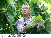 Купить «Horticulturist in apron working with marrow seedlings in sunny greenhouse», фото № 32588094, снято 13 августа 2018 г. (c) Яков Филимонов / Фотобанк Лори