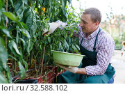 Купить «Man gardener attentively working with harvest of peppers», фото № 32588102, снято 13 августа 2018 г. (c) Яков Филимонов / Фотобанк Лори