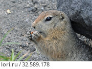 Cute Arctic ground squirrel eating cracker holding food in paws. Curious northern wild animal of genus of medium sized rodents of squirrel family. Стоковое фото, фотограф А. А. Пирагис / Фотобанк Лори