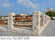Camels in Camel Souq, Waqif Souq in Doha, Qatar, Стоковое фото, фотограф Володина Ольга / Фотобанк Лори