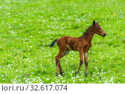 Little brown foal on a background of green succulent meadow close up. Стоковое фото, фотограф Константин Лабунский / Фотобанк Лори