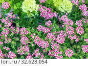 Купить «Background of flowering phlox herbaceous perennial plants», фото № 32628054, снято 24 августа 2019 г. (c) Акиньшин Владимир / Фотобанк Лори