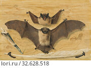 Купить «Gabriel Orm, Trompe l'oeil, Two bats nailed to a timber wall, knife and quill pen ('The Bat Painting'), two on a board wall with nails suspended leather...», фото № 32628518, снято 12 июля 2020 г. (c) age Fotostock / Фотобанк Лори