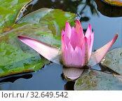 Наполовину раскрывшийся цветок розового лотоса (Lat. - nymphaea caerulea) Стоковое фото, фотограф Irina Opachevsky / Фотобанк Лори