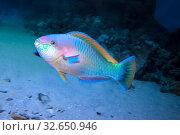 Рыба-попугай (Parrotfish) Стоковое фото, фотограф Татьяна Белова / Фотобанк Лори