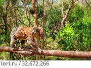 Купить «Adult male koala, Phascolarctos cinereus, on branch of eucalyptus in Koala Conservation Centre, Cowes town, Phillip Island, Victoria, Australia.», фото № 32672266, снято 31 марта 2020 г. (c) easy Fotostock / Фотобанк Лори