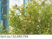 Купить «Стая воробьев на ветках яблони в черте города», фото № 32689794, снято 8 сентября 2019 г. (c) Румянцева Наталия / Фотобанк Лори