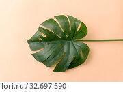 Купить «monstera deliciosa leaf or swiss cheese plant», фото № 32697590, снято 8 ноября 2018 г. (c) Syda Productions / Фотобанк Лори