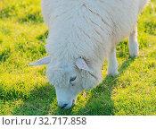 Schafe auf einem Deich an der Elbe Sheep on a dyke on the Elbe. Стоковое фото, фотограф Zoonar.com/Volker Schlichting / easy Fotostock / Фотобанк Лори