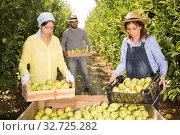 Workers putting harvested apples in crate. Стоковое фото, фотограф Яков Филимонов / Фотобанк Лори