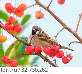 Купить «Eurasian tree sparrow sitting in an apple tree with ripe red apples.», фото № 32730262, снято 19 февраля 2020 г. (c) easy Fotostock / Фотобанк Лори