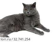 Gray cat on a white background. Стоковое фото, фотограф Ласточкин Евгений / Фотобанк Лори