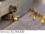 Купить «Berlin, Germany, honey bees with pollen in front of the entrance hole of a beehive», фото № 32754830, снято 4 апреля 2018 г. (c) Caro Photoagency / Фотобанк Лори