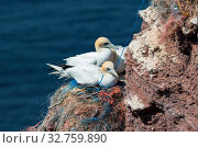 Купить «Northern Gannets sitting at their nests made of pieces of fishermen nets at red cliffs of Helgoland», фото № 32759890, снято 3 июля 2020 г. (c) easy Fotostock / Фотобанк Лори