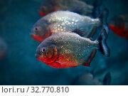 Обыкновенная пиранья  Red-bellied piranha Pygocentrus nattereri. Стоковое фото, фотограф Татьяна Белова / Фотобанк Лори