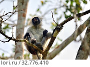 Купить «Zanzibar red colobus in Jozani forest. Tanzania, Africa», фото № 32776410, снято 6 октября 2019 г. (c) Знаменский Олег / Фотобанк Лори