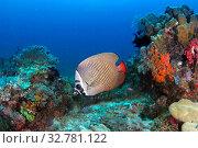 Краснохвостая пакистанская бабочка (Chaetodon collare) на живописном коралловом рифе. Стоковое фото, фотограф Татьяна Белова / Фотобанк Лори