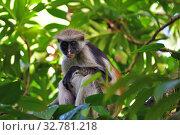 Купить «Zanzibar red colobus in Jozani forest. Tanzania, Africa», фото № 32781218, снято 6 октября 2019 г. (c) Знаменский Олег / Фотобанк Лори