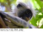 Купить «Zanzibar red colobus in Jozani forest. Tanzania, Africa», фото № 32781242, снято 6 октября 2019 г. (c) Знаменский Олег / Фотобанк Лори