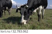 Купить «Black and white cows pasturing in farm field, eat green grass on background of mountains and blue sky in sunny day», видеоролик № 32783062, снято 19 сентября 2019 г. (c) А. А. Пирагис / Фотобанк Лори