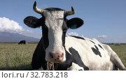 Купить «Portrait milking cow lies in farm field, resting, digesting food and basking in sun on background blue sky on sunny weather», видеоролик № 32783218, снято 19 сентября 2019 г. (c) А. А. Пирагис / Фотобанк Лори