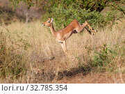 A dancing impala in the Kruger National Park South Africa. Стоковое фото, фотограф Zoonar.com/Matthieu Gallett / easy Fotostock / Фотобанк Лори