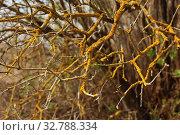 Купить «Желтый лишайник Ксантория постенная, или настенная, или стенная золотнянка (Xanthoria parietina (L.) Belt)», эксклюзивное фото № 32788334, снято 4 мая 2010 г. (c) lana1501 / Фотобанк Лори
