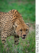 Close-up of cheetah lowering head on grassland. Стоковое фото, фотограф Zoonar.com/nwd / easy Fotostock / Фотобанк Лори