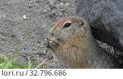 Expression Arctic ground squirrel eating cracker holding food in paws. Стоковое видео, видеограф А. А. Пирагис / Фотобанк Лори