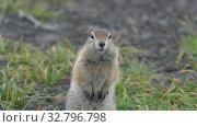 Купить «Portrait of Arctic ground squirrel, carefully looking at camera», видеоролик № 32796798, снято 26 октября 2019 г. (c) А. А. Пирагис / Фотобанк Лори