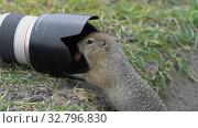 Купить «Hungry Arctic ground squirrel eating nuts, posing in front of camera», видеоролик № 32796830, снято 30 августа 2019 г. (c) А. А. Пирагис / Фотобанк Лори