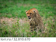 Cheetah with lowered head staring over grassland. Стоковое фото, фотограф Zoonar.com/nwd / easy Fotostock / Фотобанк Лори