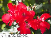 Купить «Scarlet roses, macro photo of garden flowers», фото № 32820042, снято 14 сентября 2019 г. (c) EugeneSergeev / Фотобанк Лори