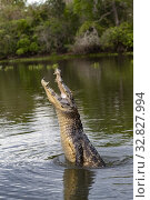 Brazil, Mato Grosso, Pantanal area, Spectacled caiman (Caiman crocodilus), jump out of the water. Стоковое фото, фотограф Morales / age Fotostock / Фотобанк Лори
