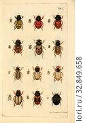 Купить «Beetle species 1, Collection of different beetles, signed: Jac., Storm pinx, et sc, Table I, p, Sturm, Jacob (pinx. et sc.), Christian Creutzer: Entomologische...», фото № 32849658, снято 1 июня 2020 г. (c) age Fotostock / Фотобанк Лори