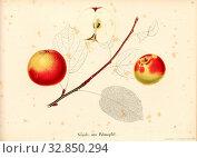 Nails or palm apple, Swiss apple variety, Signed: Color print by J. Tribelhorn, Fig. 29, Tribelhorn, J. (imp.), 1863, Schweizerisch. Landwirtschaftl. Verein... Редакционное фото, фотограф ARTOKOLORO QUINT LOX LIMITED / age Fotostock / Фотобанк Лори