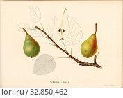 Schwärzi bulb, Swiss pear variety, Signed: Farbendruck v., J. Tribelhorn, Fig. 32, Tribelhorn, J. (imp.), 1863, Schweizerisch. Landwirtschaftl. Verein... Редакционное фото, фотограф ARTOKOLORO QUINT LOX LIMITED / age Fotostock / Фотобанк Лори