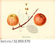 Hornufsecher, Swiss apple variety, Signed: color print by J. Tribelhorn, Fig. 21, Tribelhorn, J. (imp.), 1863, Schweizerisch. Landwirtschaftl. Verein ... Редакционное фото, фотограф ARTOKOLORO QUINT LOX LIMITED / age Fotostock / Фотобанк Лори