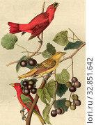 Summer Red-bird - Wild Muscadine, Vitis rotundifolia, Mich, Sommertangar (Piranga rubra, Pyranga aestiva), Grapevine, Signed: J.J. Audubon, J.T. Bowen... Редакционное фото, фотограф ARTOKOLORO QUINT LOX LIMITED / age Fotostock / Фотобанк Лори