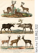 Купить «Mammals: deer, gazelles, antelopes, 1. The deer, 2. The doe, 3. The fallow deer, 4. The elfin, 5. The reindeer, 6. The cow antelope, 7. The common gazelle...», фото № 32862322, снято 28 мая 2020 г. (c) age Fotostock / Фотобанк Лори