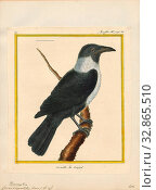 Купить «Corvus scapulatus, Print, Corvus is a widely distributed genus of medium-sized to large birds in the family Corvidae. The genus includes species commonly...», фото № 32865510, снято 17 сентября 2019 г. (c) age Fotostock / Фотобанк Лори