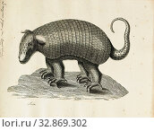 Dasypus gigas, Print, Dasypus is the only extant genus in the family Dasypodidae. Its species are known as long-nosed or naked-tailed armadillos. They... (2019 год). Редакционное фото, фотограф ARTOKOLORO QUINT LOX LIMITED / age Fotostock / Фотобанк Лори